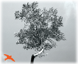 Project Management theme: digital image of an olive tree in black and white. An orange bird at the bottom left-hand corner is flying towards the tree.